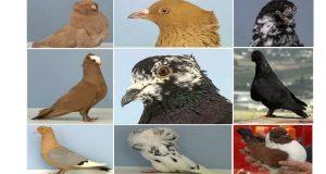 palomas ornamentales