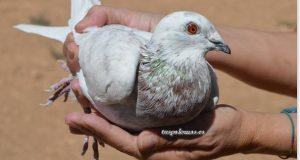 peso óptimo en palomas mensajeras