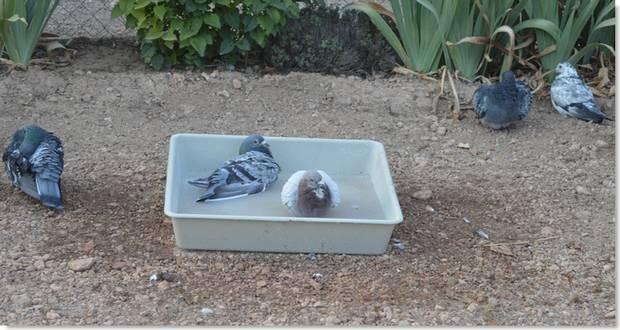 la importancia del baño para las palomas