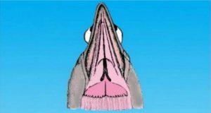 la garganta de la paloma