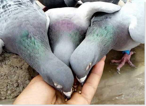 alimentacion palomas previa carrera