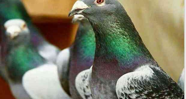 entrenamiento palomas mensajeras