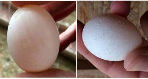 problemas con la cáscara de huevo de palomas